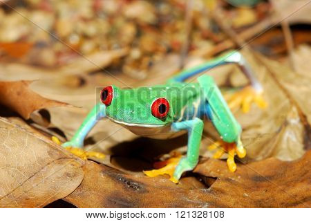 Red-eye tree frog Agalychnis callidryas in natural environmentfrog, green, amphibian, red, nature, a