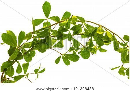 Leaf With Branch Isolated