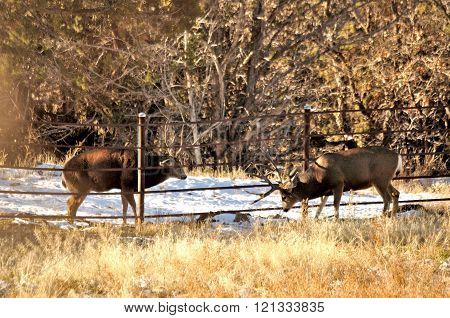 Mule Deer bucks sparing through fence