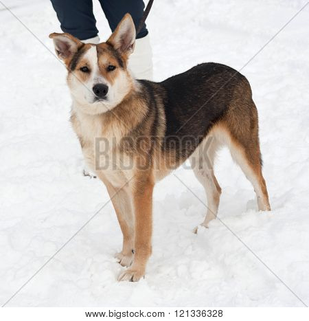 Red black and white mongrel dog standing on white snow