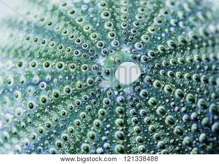 See Urchin In Blue And Green Colors