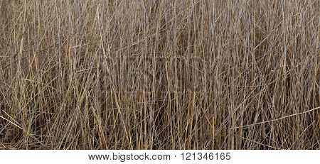 Dry thicket of sedge is on the river bank.
