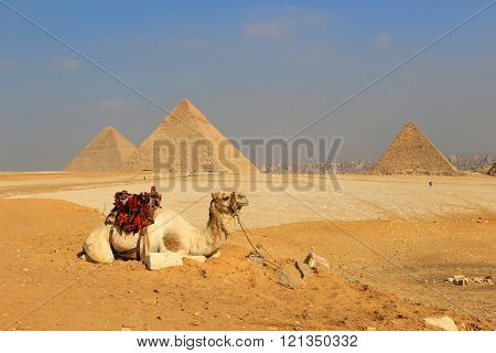 Camel The Pyramids Of Egypt At Giza