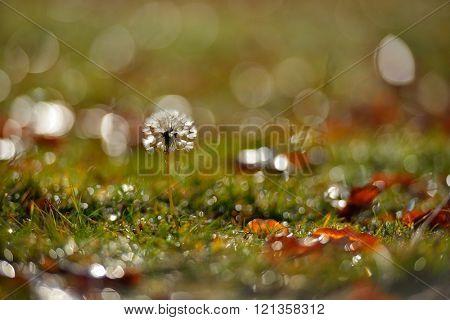 dandelion on field in autumn