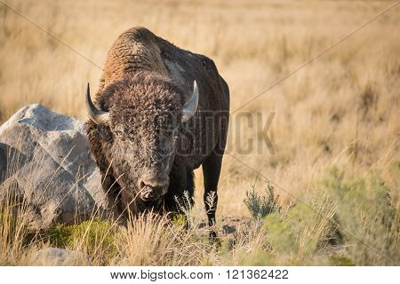 Male Bison near Great Salt Lake, Utah