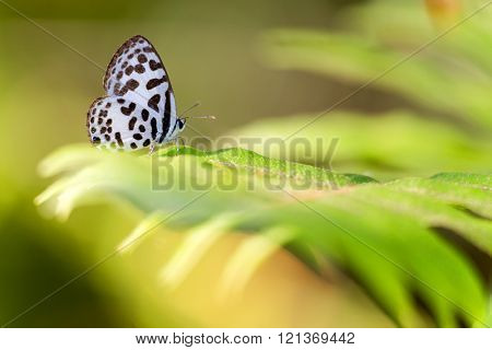 Striped Pierrot butterfly standing on a large leaf