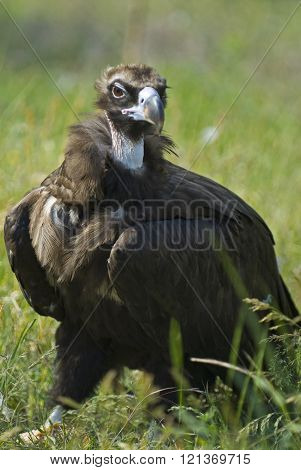 Vulture On Grass