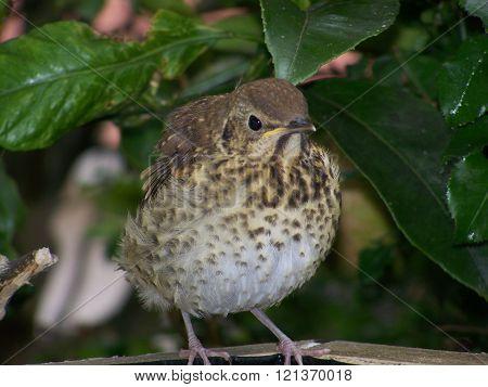 Speckled bird