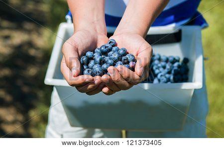 Hands full of freshly picked blueberries