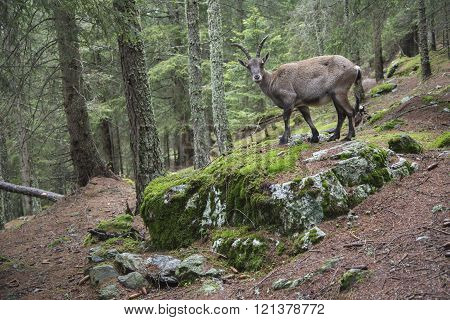Female alpine ibex in a wood