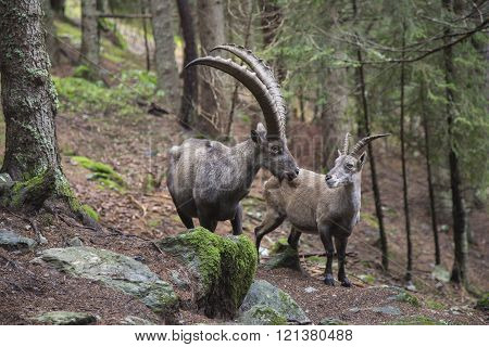Male And Female Alpine Ibex
