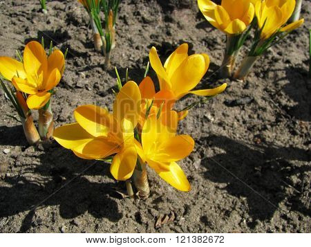Yellow crocus in spring,The crocuses family