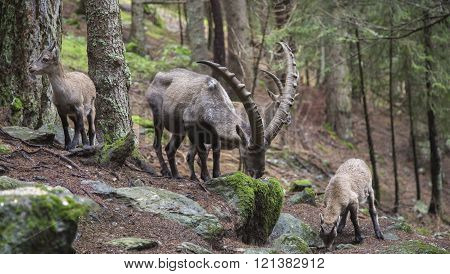 Male Alpine Ibex Grazing