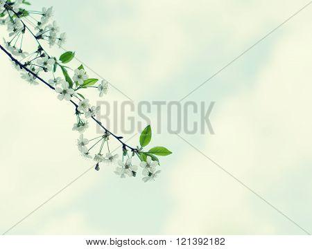 Branch Of Cherry-tree Flowers