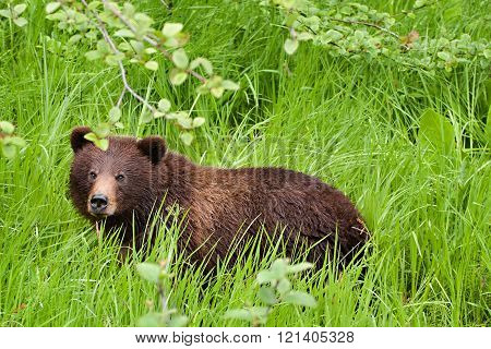 Grizzly bear (Ursus arctos horribilis) grazing in a meadow