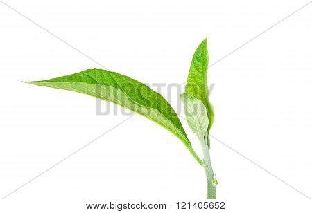 Adhatoda Vasica Or Medicinal Basak Leaf
