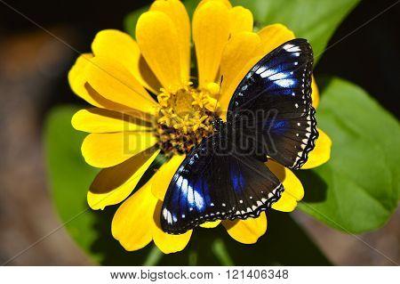 Blue Diadem Butterfly Latin name Hypolimnas salmacis on a yellow flower