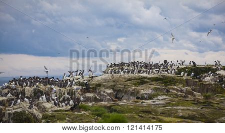 Bird Colonies At The Farne Islands In Northumberland