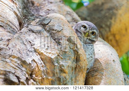 Owl Perched hide on the tree hole