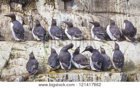 Guillemots At The Farne Islands In Northumberland