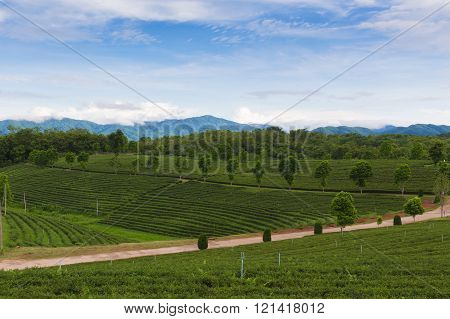 Green tea plantation agricultural nature landscape