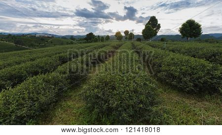 Tea Plantations, agriculture mountain lanscape