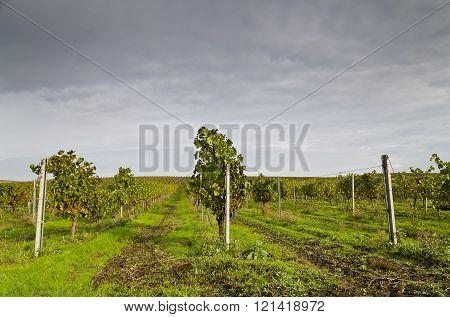 Harvesting period in the vineyard Karnobat Bulgaria