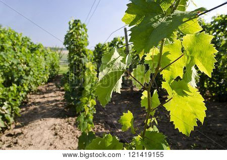 Landscape  In The Vineyard In The Summer, Katselovo, Bulgaria