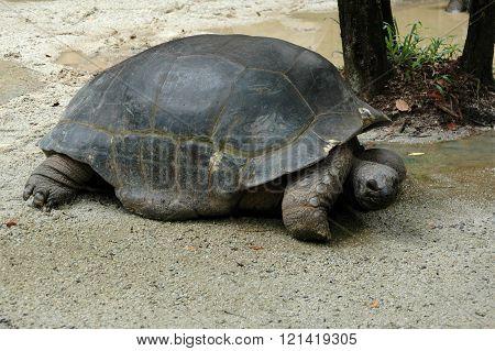 Giant Turtle On Riverbank Sarawak Borneo