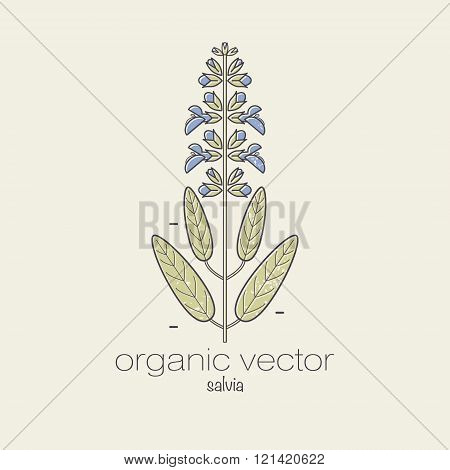 Plant motifs. The plant salvia. Vector illustration of a plant used in cosmetics medicine and cooking. The plant design for packaging web creation of goods and services. Modern style mono line.
