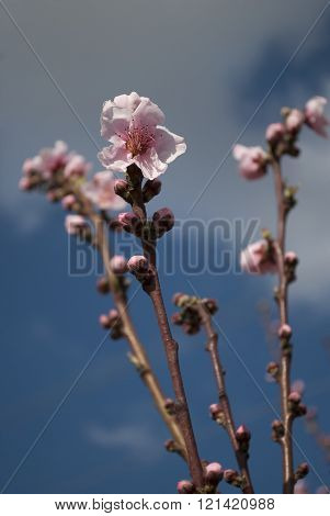 Peach Buds And Flowers On Branch