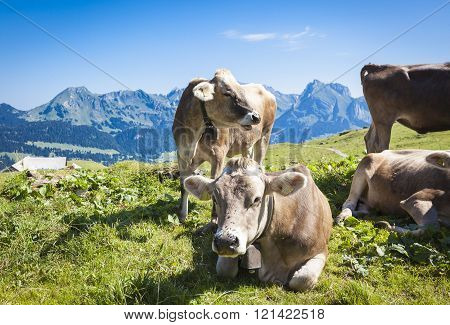 Cattles In The Swiss Mountains