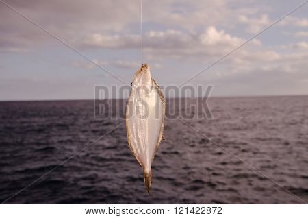 Whole Single Fresh Sole Fish