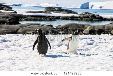 Two gentoo penguins or pygoscellis papua