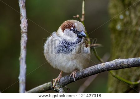 Sparrow on the bough