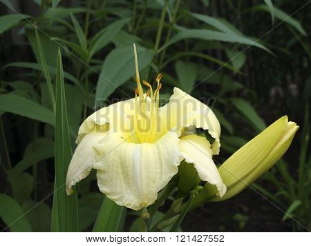 Yellow Daylily In The Garden