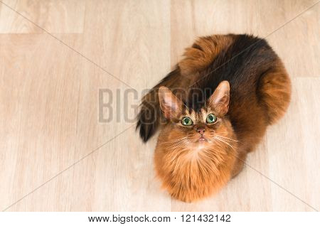 Somali cat portrait top view on parquet and lookign at camera