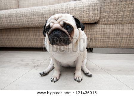 Sad pug near the sofa. Sad sight