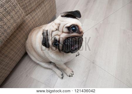 Funny pug near the sofa
