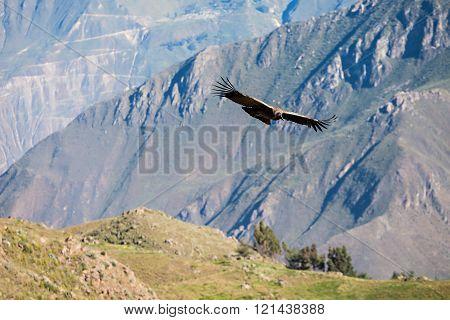 Condor Flight