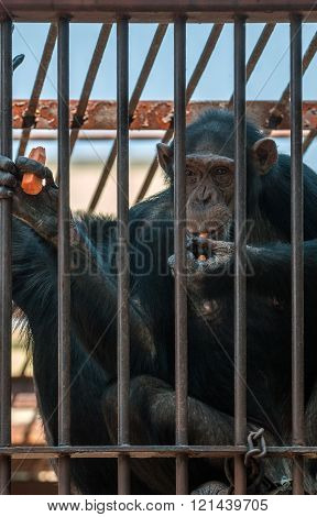 Chimpanzee in the cage