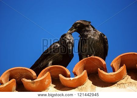 Tenderness Between Two Ravens.