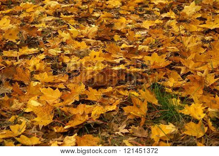 Autumn Scene With Dark Yellow Fallen Leaves