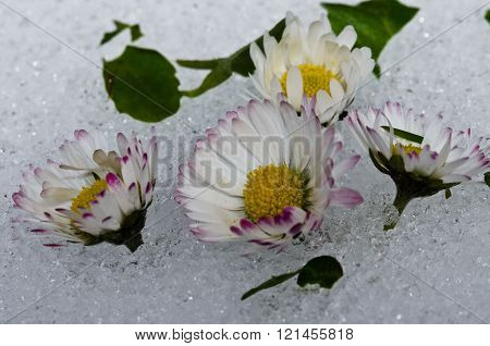the marguerite in ice