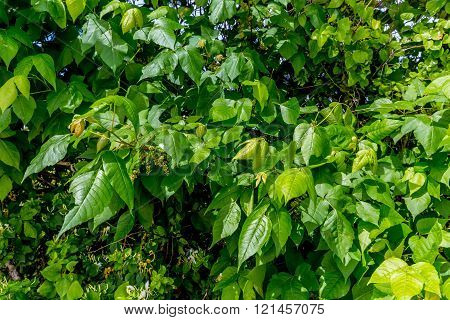 Poison Ivy (Toxicodendron radicans) Growing with Honeysuckle Vines in Texas