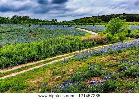 A Wide Angle View of Stormy Skies and a Beautiful Field or Meadow Blanketed with the Famous Texas Bluebonnet (Lupinus texensis) Wildflowers with Old Country Dirt Road. An Amazing Display at Muleshoe Bend in Texas.