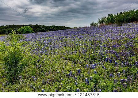 A Wide Angle View of Stormy Skies and a Beautiful Field or Meadow Blanketed with the Famous Texas Bluebonnet (Lupinus texensis) Wildflowers at Muleshoe Bend in Texas.