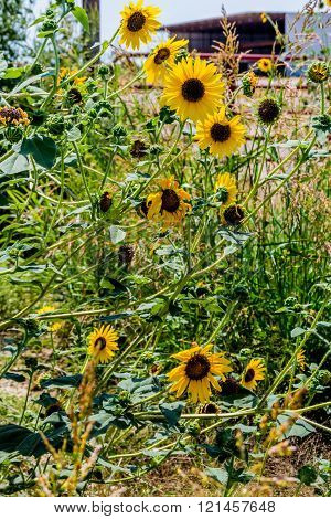 Wild Sunflowers (Helianthus) Growing Wild in an Oklahoma Field Full of a Variety of Other Wildflowers.