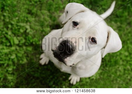 Dogo Argentino laying on the grass,close up