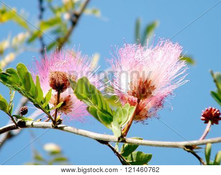 Calliandra branch in Neve Monosson near Or Yehuda Israel